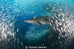 Sand tiger shark or Carcharias taurus, off the coast of N... by Michael Gerken